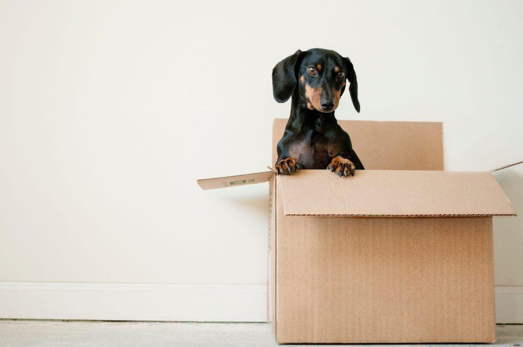 Daschund puppy peeking out of a cardboard box