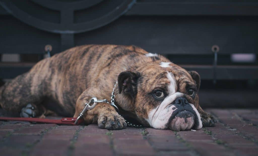 Sad looking bulldog lying on the pavement